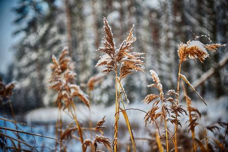 fluffy tuft: dry  fluffy reeds on frozen pond. winter landscape. Stock Photo