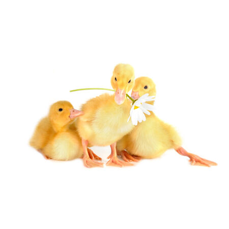 webbed: three  cute fluffy  ducklings and chamomile isolated