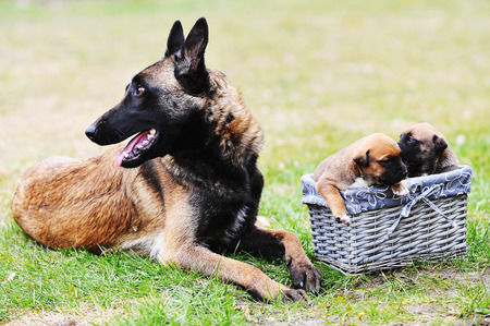 breastfeed: female dog of belgian shepherds malinois  with puppies