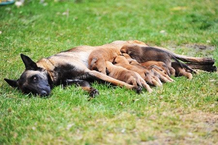 lactation: female dog of belgian shepherds malinois  with puppies