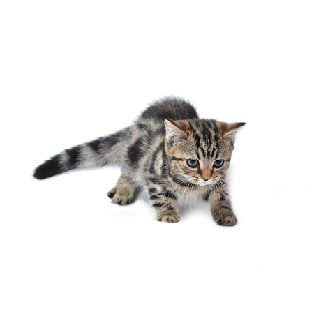baby  pussy: Cute  tabby kitten plays with toy Stock Photo