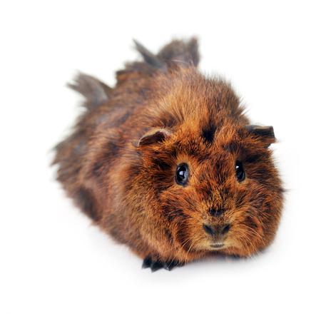guinea pig: cute guinea pig close up