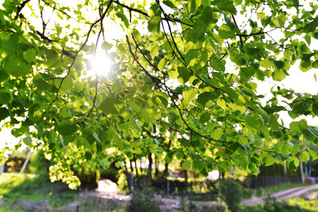linden tree: Green leaves of old linden tree Stock Photo