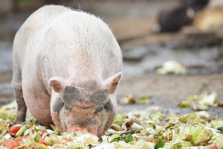 trough: pigs eating from  feeding trough in  zoo Stock Photo