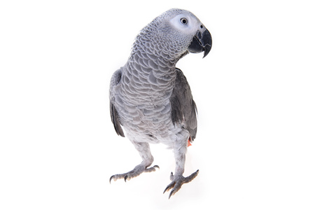 african grey parrot: Jaco or african gray parrot in home