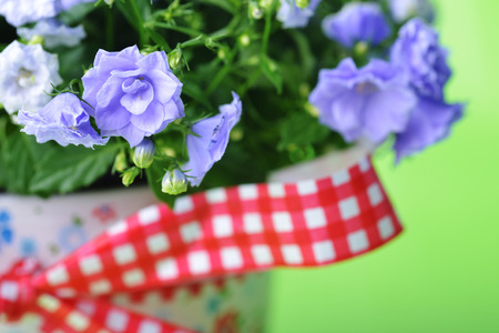 abloom: blue campanula flowers in  flower pot on green background