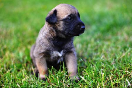 sheepdogs: young puppies belgian shepherd malinois in field