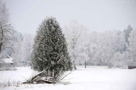 wintery day: winter tree covered with fluffy snow