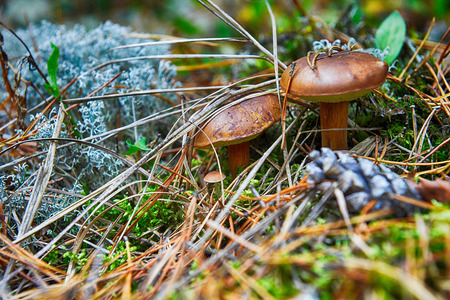 eatable: eatable mushrooms growing in autumn forest