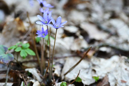 bluebell woods: Blossoming hepatica in spring on forest glade