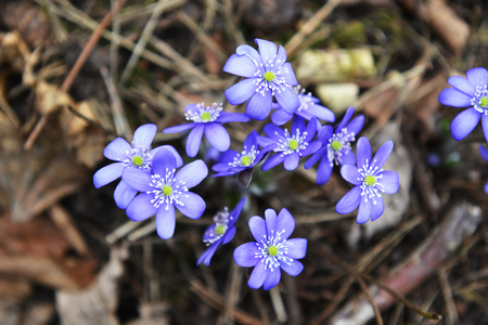 glade: Blossoming hepatica in spring on forest glade