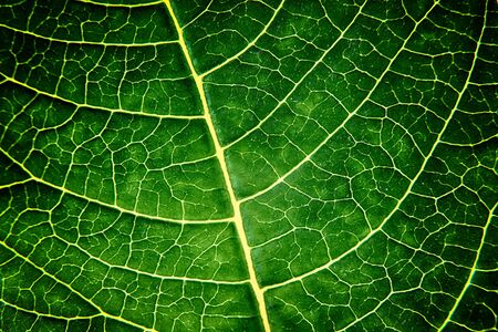 chlorophyll: bright green leaf close up, texture