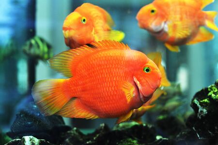 freshwater aquarium plants: beautiful goldfish in freshwater aquarium Stock Photo
