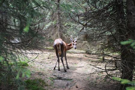 roe deer buck running in coniferous forest Stock Photo