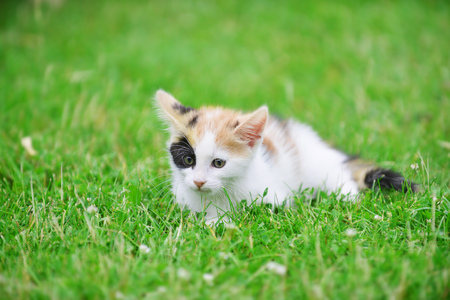 defenseless: Motley cat playing on green grass