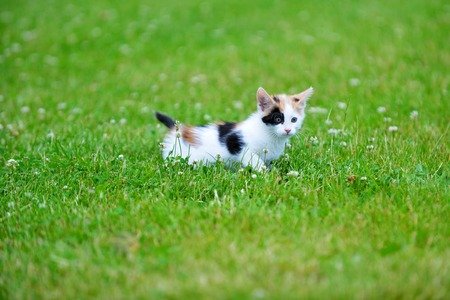 gato jugando: Motley cat playing on green grass