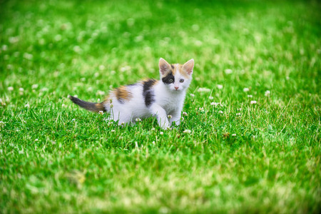 motley: Motley cat playing on green grass