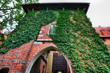 ivy wall: covered with ivy wall of house with window