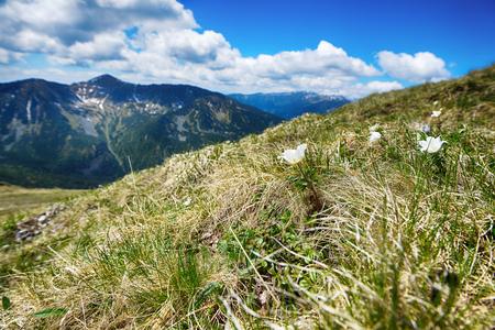 pulsatilla: White pulsatilla flowers in summer mountains