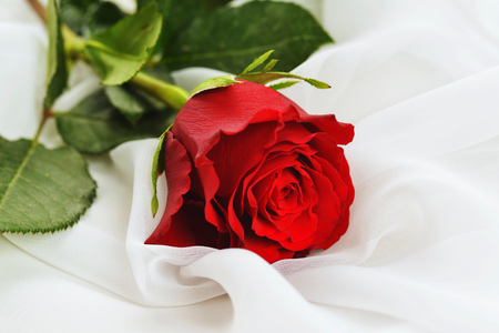 white silk: red rose on white silk isolated