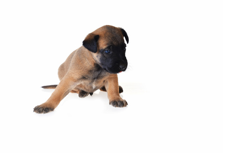 Cute young puppy on white  background
