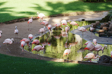 pink flamingo walking on green grass in park Stock Photo
