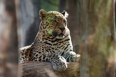white big leopard in tropical  zoo Stock Photo