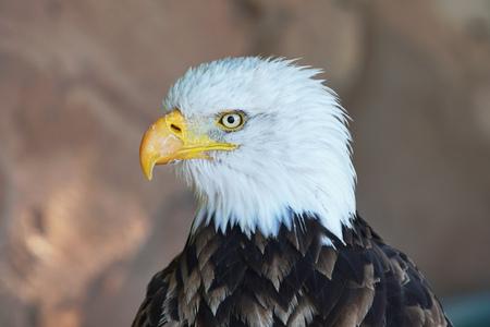 portrait of brown bird of prey with white head and yellow beak Stock Photo