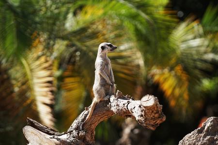 Ring tailed lemur monkey sitting on tree