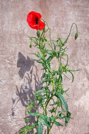 red poppy flower and shadow in the back on a wall. High quality photo