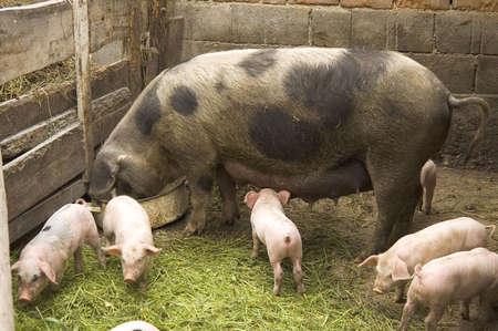 Pigs at farm Stock Photo