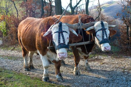 bullock animal: Pair of oxen with halter yoked together ready to pull a load. Traditionally, a yoke is made of a wooden material.