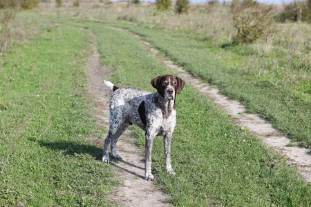 German Shorthaired Pointer On road photo