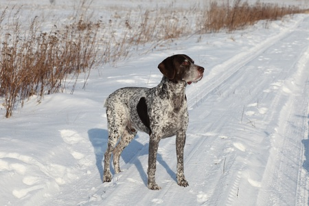 German Shorthair Pointer on a snow Stock Photo - 12515253
