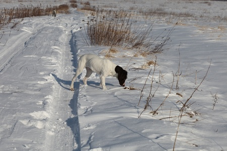 Puppy German Shorthair Pointer on a snow photo