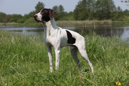 German Shorthaired Pointer summer portrait on the lake Фото со стока