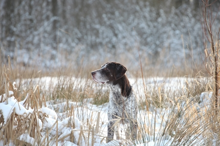 German Shorthair Pointer on a snow photo
