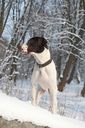 German Shorthair Pointer on a snow photo