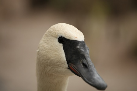 cygnus buccinator: Cygnus buccinator bird