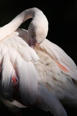 phoenicopterus: Flamingo  Phoenicopterus roseus