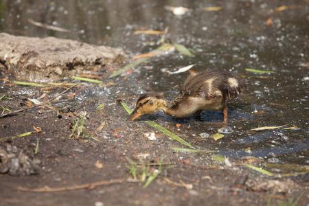 platyrhynchos: nestling Mallard ducks (Anas platyrhynchos) looking for food on the edge of the pond Stock Photo