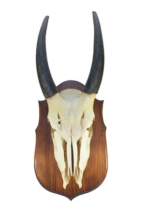 the skull of an adult male Eland (Taurotragus oryx), on the wooden locket