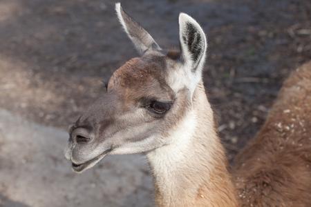 portrait of a South American home brown Lama glama closeup Stock Photo