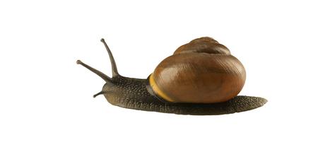 dwelling: forest snail, Cepaea nemoralis on a white background