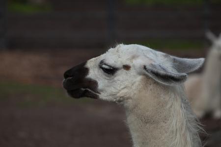 Portrait of a South American home white Lama Glama closeup