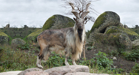 male Turkmenian markhor (Capra falconeri heptneri) stand on rocks