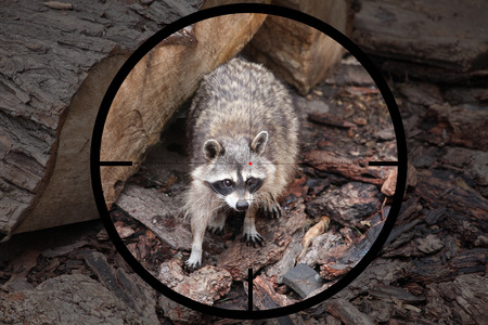 small predator racoon (Procyon lotor) in the crosshair of the optical sight of the hunter 版權商用圖片 - 108567477