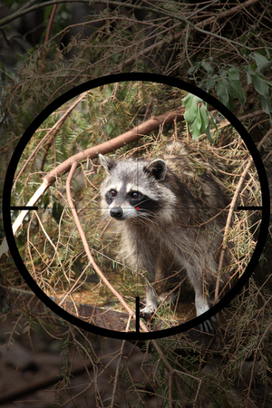 small predator racoon (Procyon lotor) in the crosshair of the optical sight of the hunter