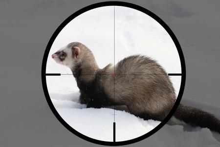 ferret (Mustela putorius) in the crosshair of the optical sight of the hunter