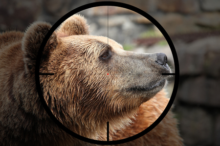 big bear (Ursus arctos) in the crosshair of the optical sight of the hunter